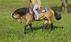 collo mr chocolte performance quarter horse stallion buckskin