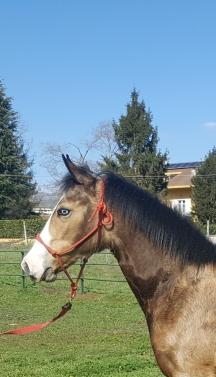 foal mr chocolte performance quarter horse stallion buckskin