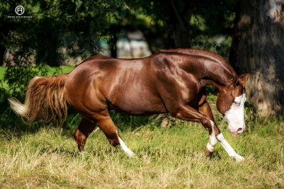germany-reining-quarter-horse-stallion-at-stud-nd-gun-sawyer-2010 good proportions