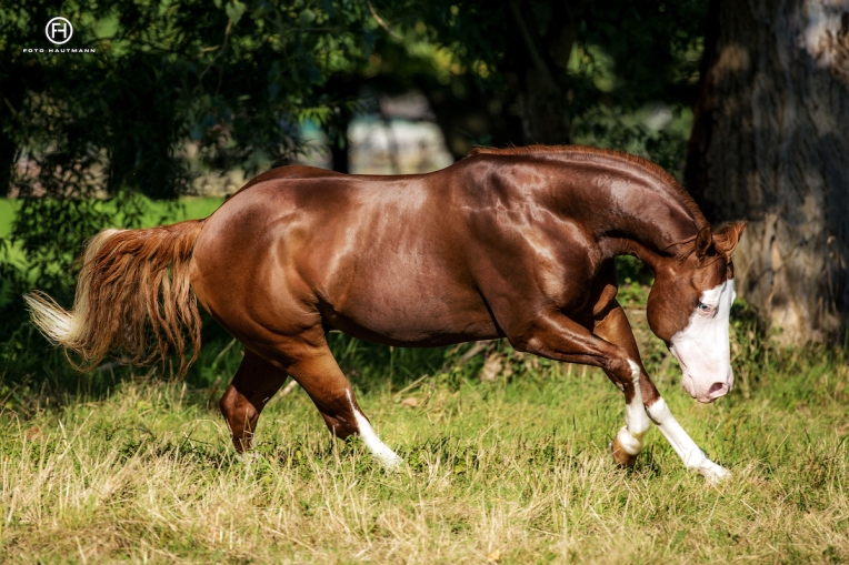 germany-reining-quarter-horse-stallion-at-stud-nd-gun-sawyer-2010 good proportions