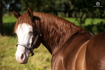 germany-reining-quarter-horse-stallion-at-stud-nd-gun-sawyer-2010 neck