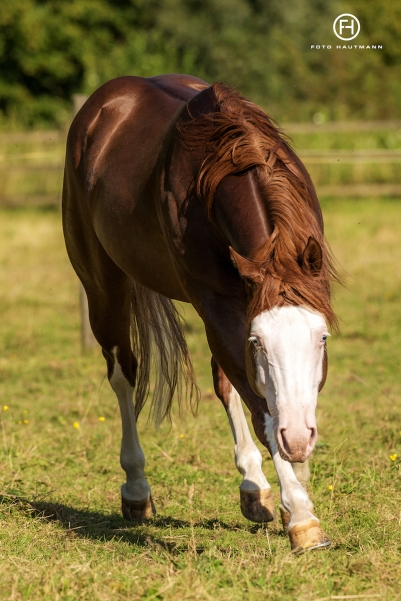 germany-reining-quarter-horse-stallion-at-stud-nd-gun-sawyer-2010 paddok