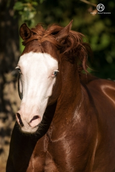 germany-reining-quarter-horse-stallion-at-stud-nd-gun-sawyer-2010 white face