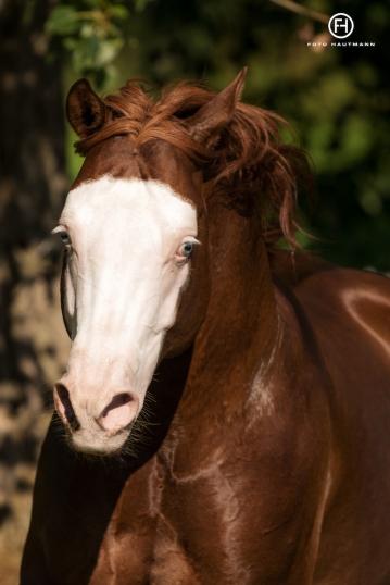 germany-reining-quarter-horse-stallion-at-stud-nd-gun-sawyer-2010 white face