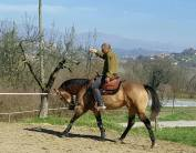 job mr chocolte performance quarter horse stallion buckskin