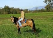 pascolo mr chocolte performance quarter horse stallion buckskin