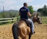 performance mr chocolte performance quarter horse stallion buckskin