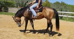 reining mr chocolte performance quarter horse stallion buckskin