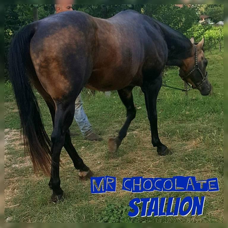 stallone stagione di monta mr chocolte performance quarter horse stallion buckskin