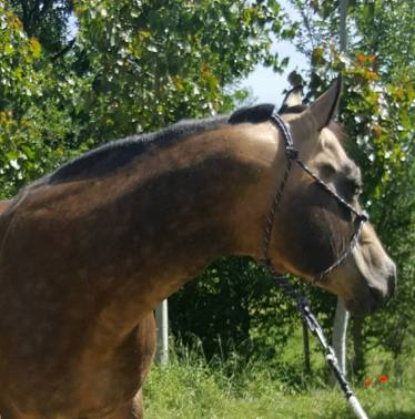 testa mr chocolte performance quarter horse stallion buckskin