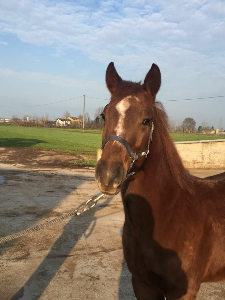 VULCAN-HAIDAS-SNAP-Puledro-Quarter-Horse-Sauro-