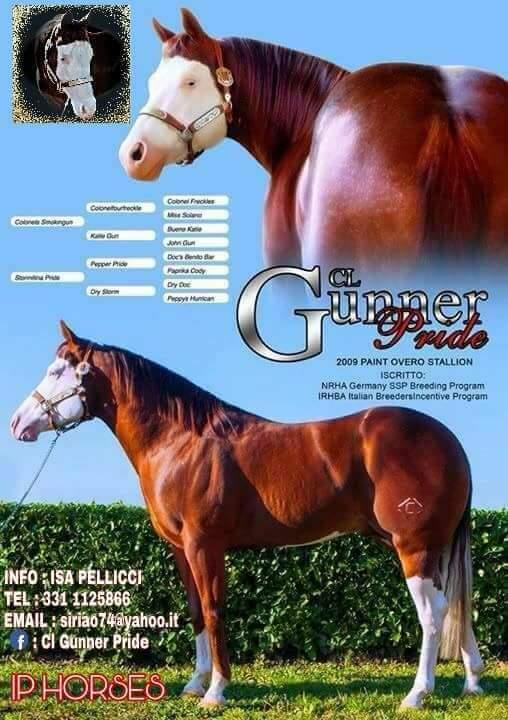 cl-smoing-gun-stallone-quarter-horse-2