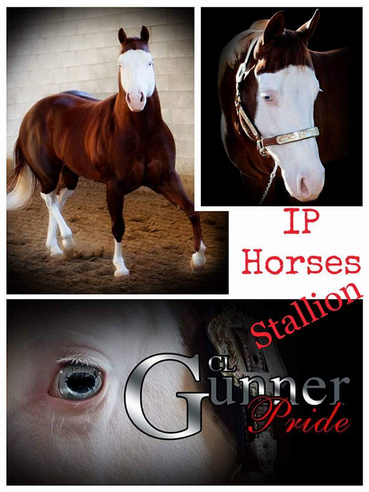 cl-smoking-gun-stallone-quarter-horse-3