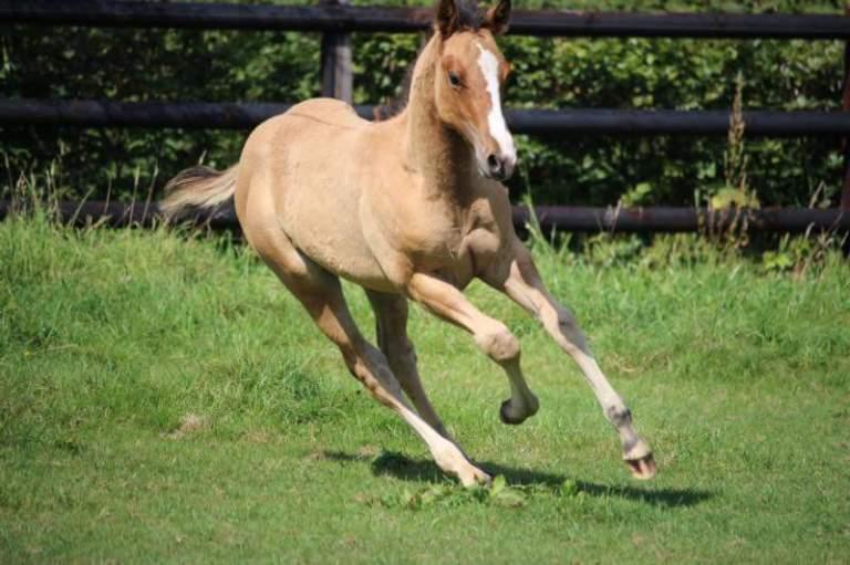 fritz-is-a-king-quarter-horse-colt-dun-2