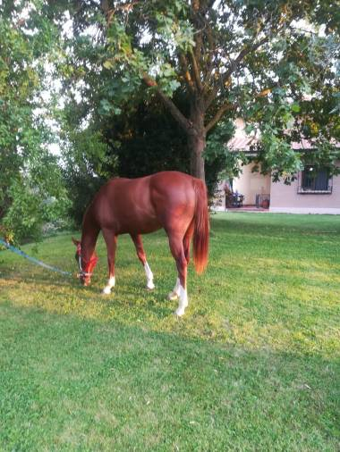whiz-top-peppy-puledra-quarter-horse-saura5