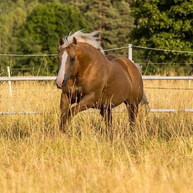 chexy-step-chiquita-palomino-mare-quarter-horse-1