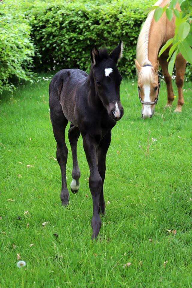 mr-dark-pepolena-quarter-horse-colt-for-sale-1