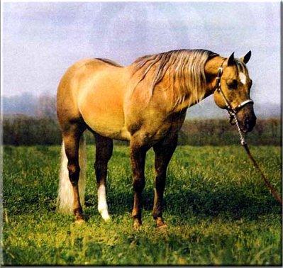 jacs-little-pine-stallone-quarter-horse