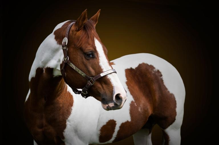 listogun-stallone-paint-horse.jpg