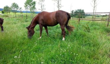 puro-revolution-fattrice-quarter-horse-1