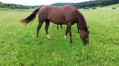 puro-revolution-fattrice-quarter-horse-2