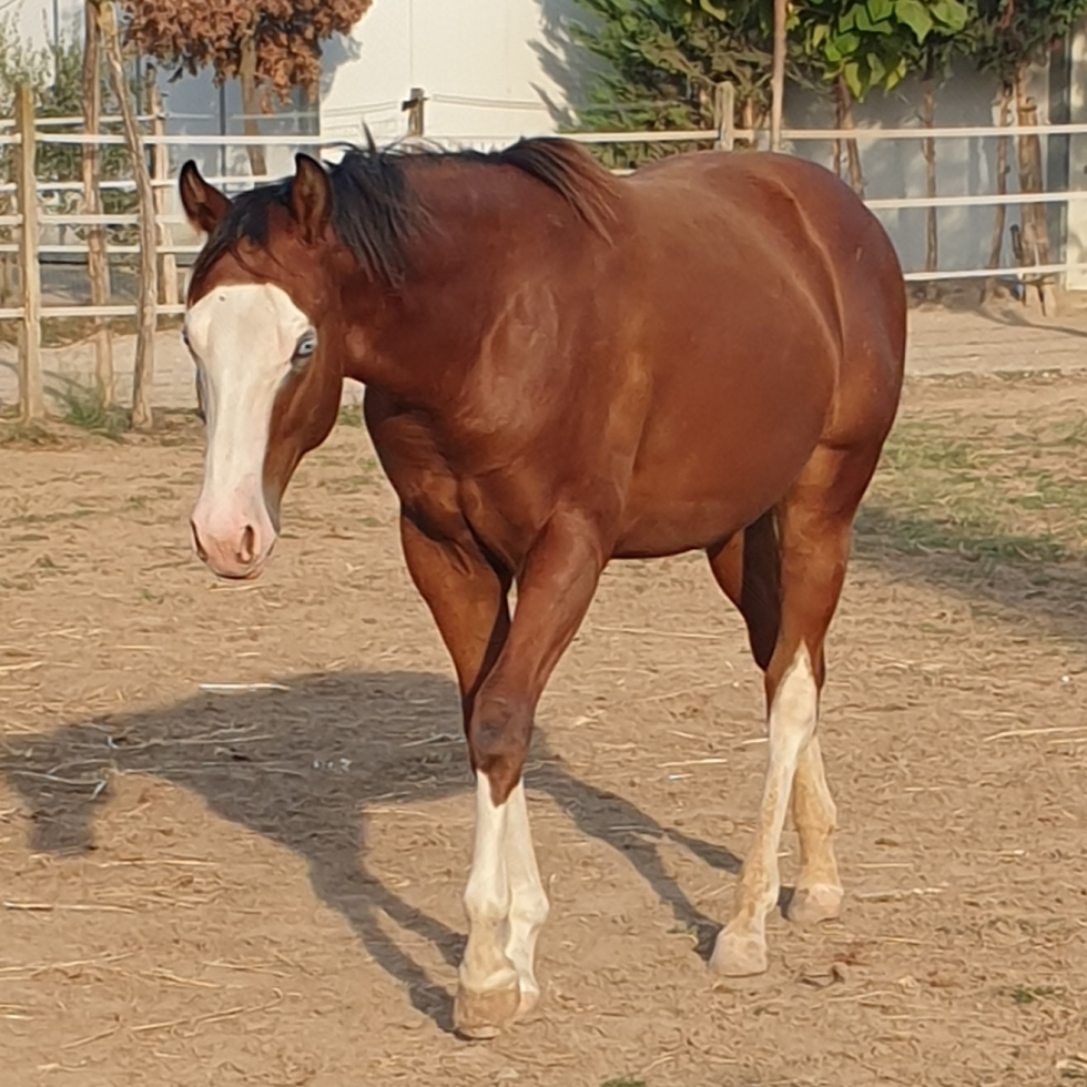 Quarter Horse Hengst Fohlen (04/2021) 152 cm Red Dun
